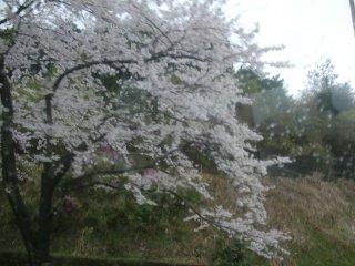 菩提寺PA(下り)の桜。