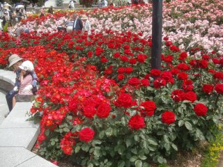 正にバラのじゅうたんです。