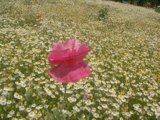 カモミールの香りで包まれた花の丘です。
