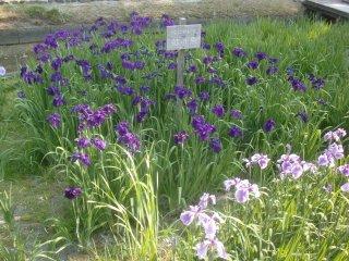 庭園内の菖蒲園です。