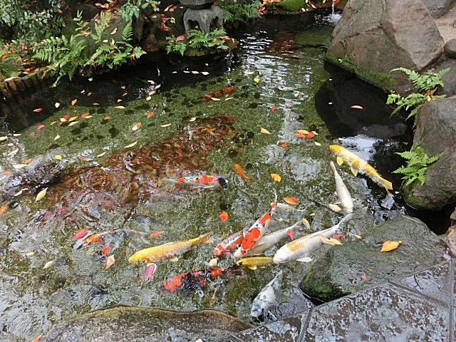みずみずしい池の鯉です。