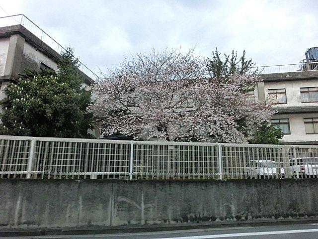 あちこちで桜満開です。