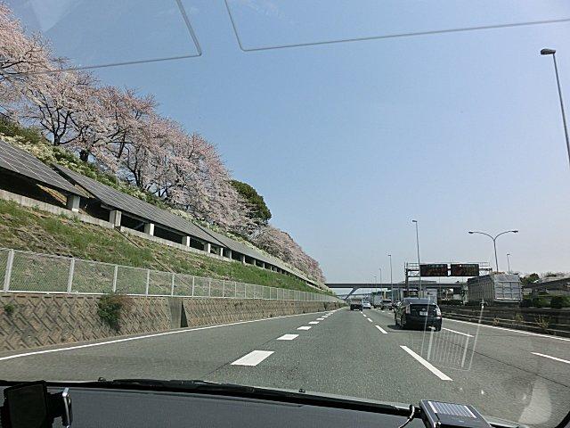 万博公園の見事な桜です。