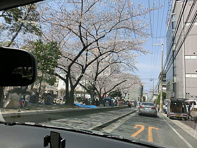 江坂公園の桜。