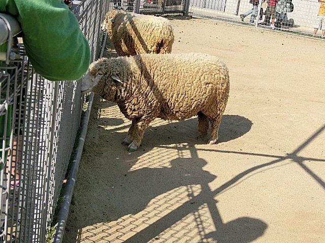 羊たちです。