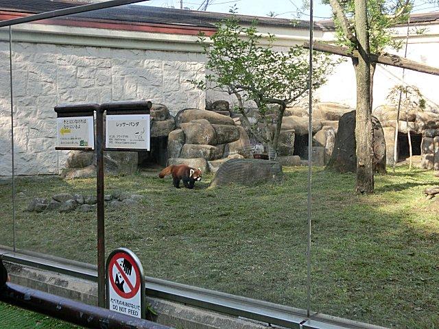 レッサーパンダです。
