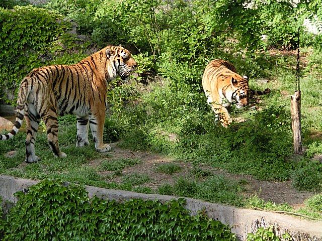 虎のセンイチとアヤコです。
