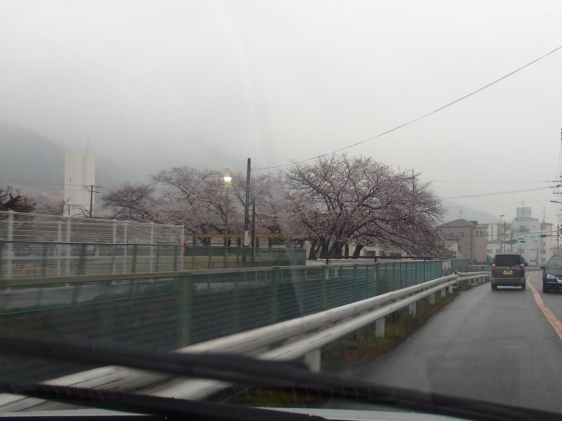 野崎付近の桜です。