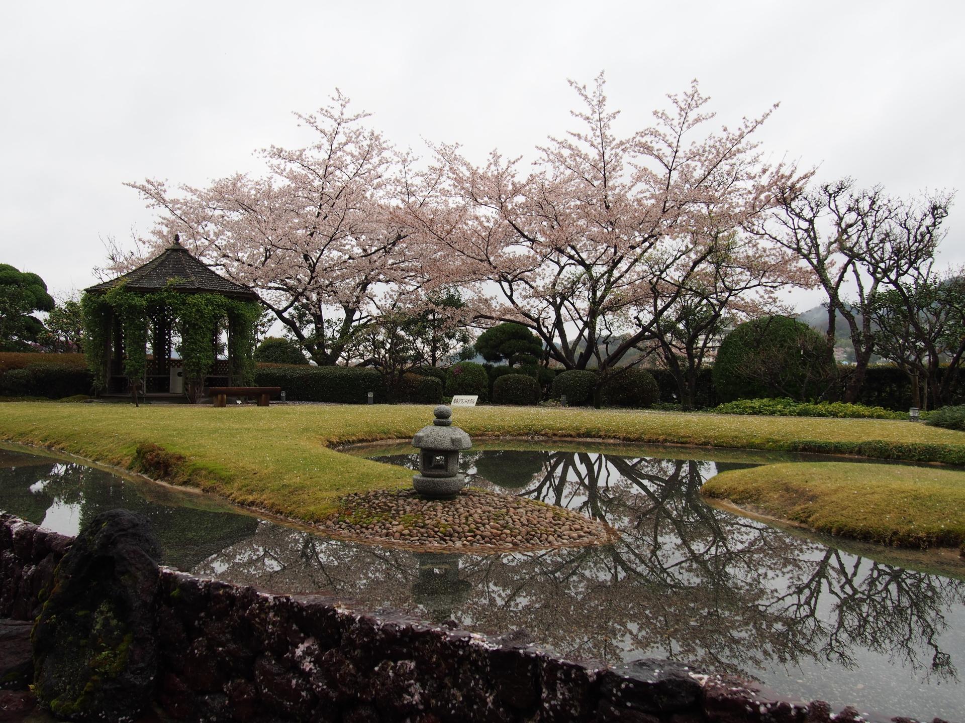 再び中庭の桜です。