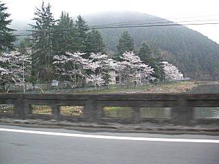 千種川の桜です。